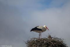 Stork-Hvid